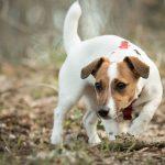 Jack Russell Terrier - jak stworzyć z nim duet idealny?