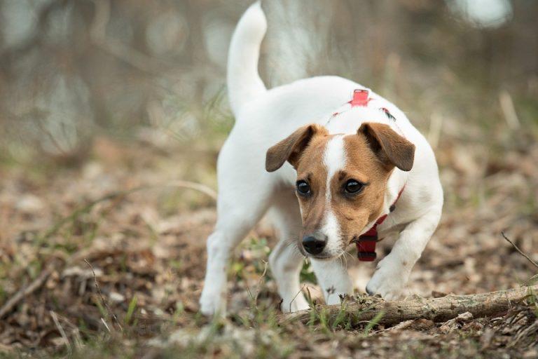 Jack Russell Terrier – jak stworzyć z nim duet idealny?