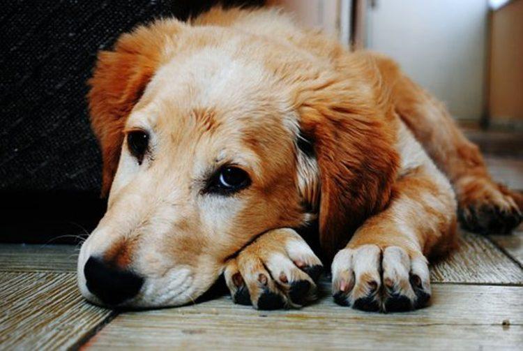 psa z chorą wątrobą