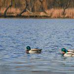 Ptaki zimą - czy dokarmiać je? Czym i kiedy?